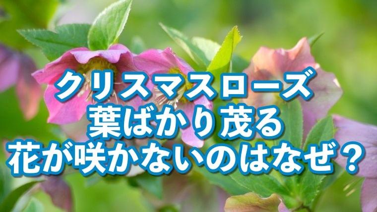 クリスマスローズ,葉ばかり茂る,花が咲かない,なぜ,葉が大きすぎ,花が見えない,対処法